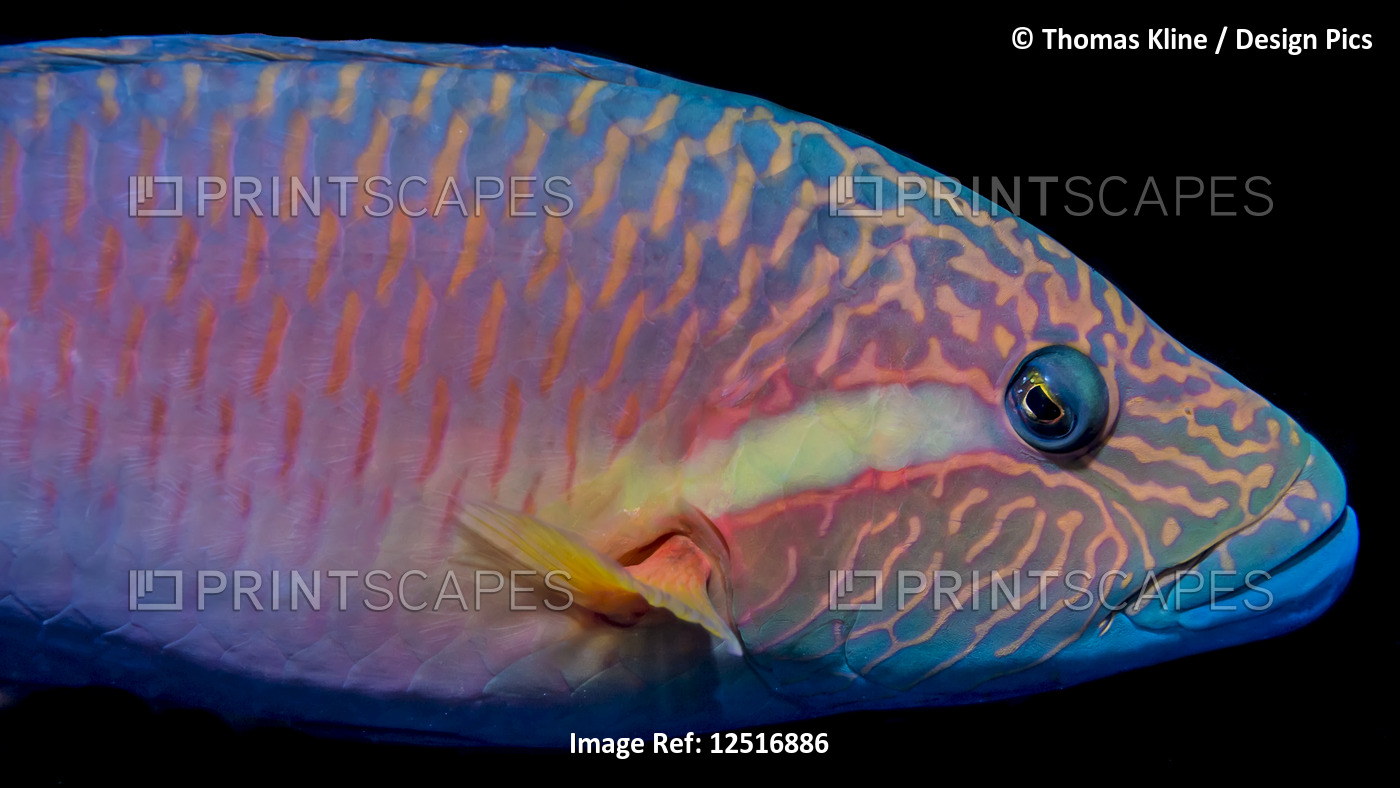 The vivid colors of a Ringtail Wrasse.